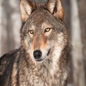Album Journey of Greywolf from GreyWolf